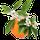 Fleur d'Oranger d'Afrique