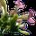 Fleur de Tabac