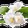 Fleur de Pamplemousse
