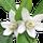 Fleur de Mandarinier