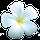 Fleur de Muscadier
