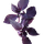 Basilic Pourpre