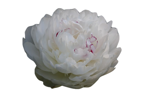 Œillet Blanc en parfumerie