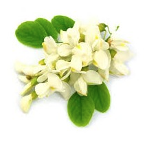 Acacia en parfumerie
