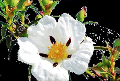 Ciste Labdanum en parfumerie