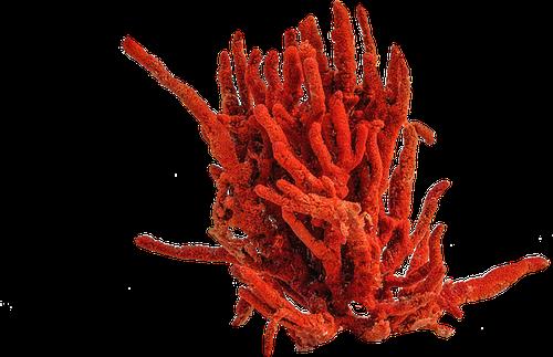 Corail en parfumerie