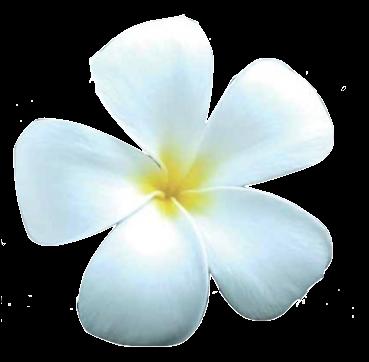 Fleur de Muscadier en parfumerie