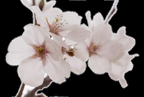 Fleur de Cerisier du Japon en parfumerie
