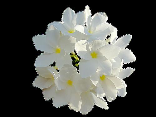 Fleurs Blanches en parfumerie