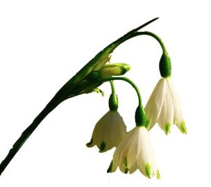 Galanthus en parfumerie