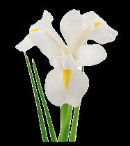 Iris Blanc en parfumerie