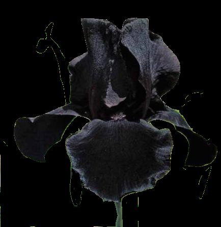 Iris Noir en parfumerie