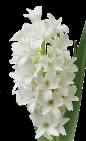Jacinthe Blanche en parfumerie