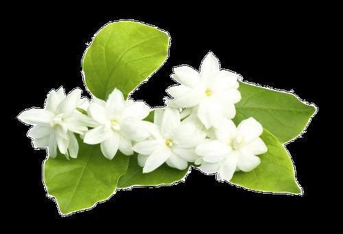 Jasmin d'Eau en parfumerie