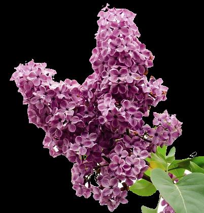 Lilas en parfumerie