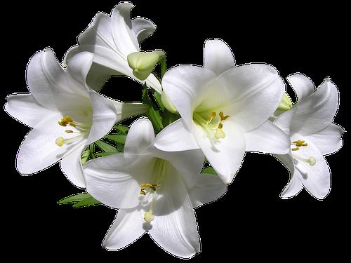 Lys Blanc en parfumerie
