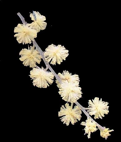 Mimosa Blanc en parfumerie