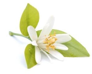 Essence de Néroli en parfumerie