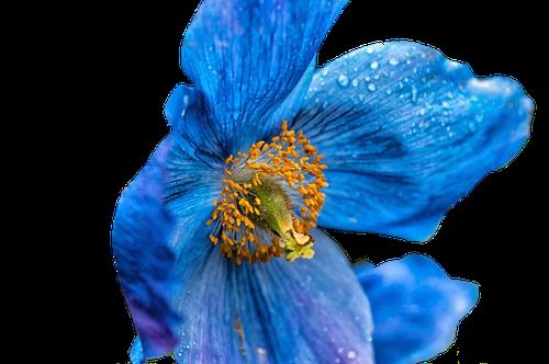 Pavot Bleu en parfumerie
