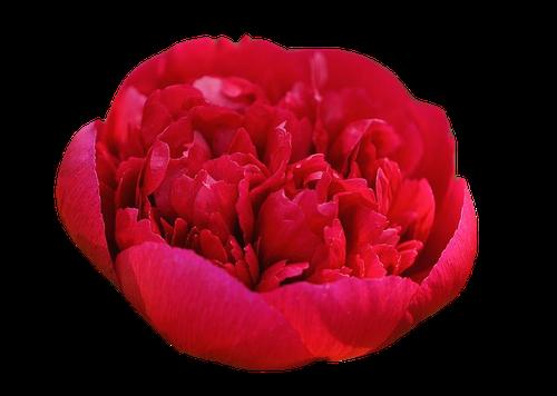 Pivoine Rouge en parfumerie