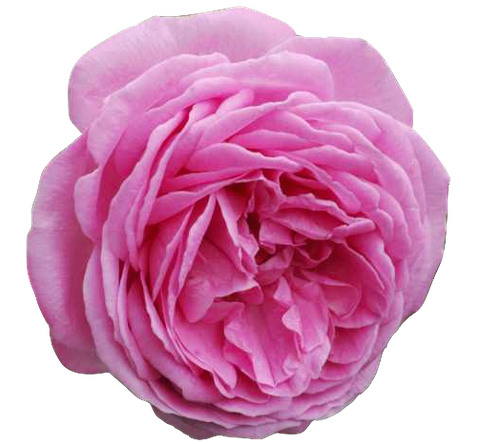 Rose de Mai en parfumerie