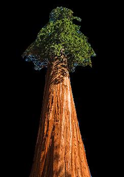 Séquoia en parfumerie