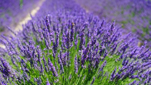 Parfum Fougère, la Famille olfactive Fougère
