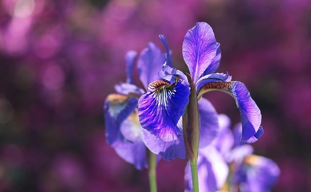 Iris dans les parfums, élégance et raffinement